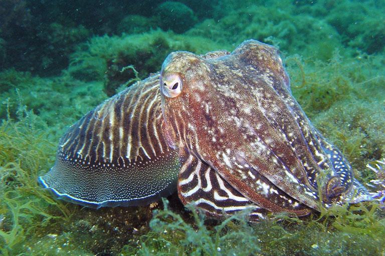 осьминог, фауна Хорватии