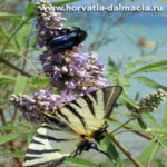 natur, animal, batterfly, babochka, priroda