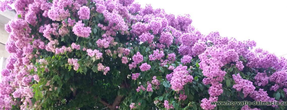 бугенвиллия, растения, цветут, в июне