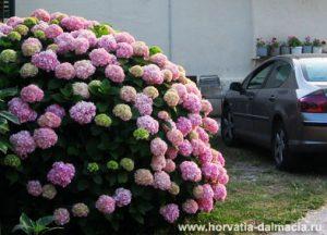 гортензия, Омиш, Хорватия, июнь, цветет