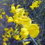 Спалатто, цветы, кустарник