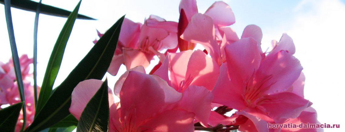 олеандр, цветы, Хорватия